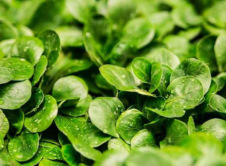De la mâche dans votre panier de légumes